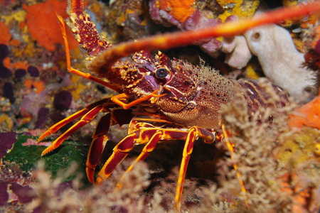 A spiny lobster Palinurus elephas underwater in the Mediterranean sea, France