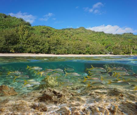 Polinesia francese, isola di Rurutu costa lussureggiante con una scuola di pesce sott'acqua, Pacifico del sud, arcipelago australe, vista suddivisa per metà sopra e sotto l'acqua