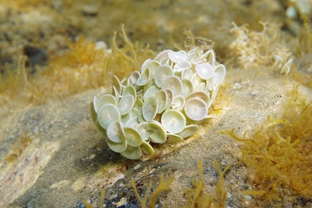 Algae Acetabularia acetabulum underwater in the Mediterranean sea, Spain
