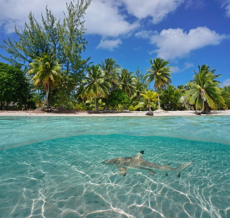 Tropical coast with coconut trees and a shark underwater, Tikehau atoll, Tuamotu, French Polynesia, Pacific ocean, split view over and under water surface