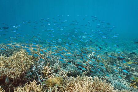 Underwater coral reef with a school of fish (damselfish Chromis viridis), lagoon of Grand-Terre island, New Caledonia, south Pacific ocean, Oceania