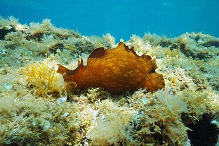 Sea slug underwater, mottled sea hare, Aplysia fasciata, marine gastropod mollusk, Mediterranean sea, French Riviera, France
