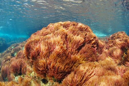 Red algae, harpoon weed, Asparagopsis armata, underwater in the Mediterranean sea, Spain, Costa Brava