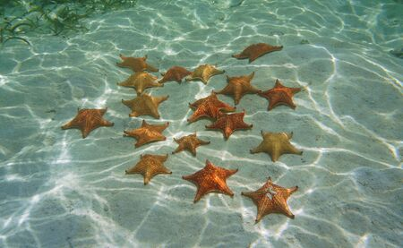 Several red cushion starfish underwater (Oreaster reticulatus) on a sandy seabed in the Caribbean sea
