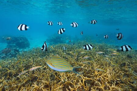 Tropical fish and coral reef in the lagoon of Huahine island, French Polynesia, south Pacific ocean, Oceania Фото со стока
