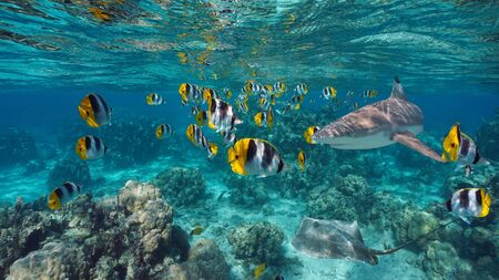 Shoal of colorful tropical fish with a shark and a stingray underwater, Pacific ocean, French Polynesia Stock Photo