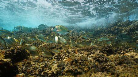 Underwater Mediterranean fish shoal, sea breams in shallow water