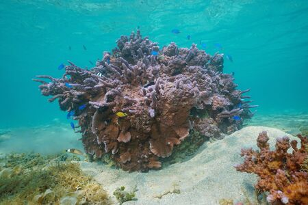 Purple coral (Montipora Sp.) underwater with tropical fish, Pacific ocean, Huahine, French Polynesia, Oceania