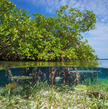Mangrove with tropical fish, split view over and under water surface, Caribbean sea