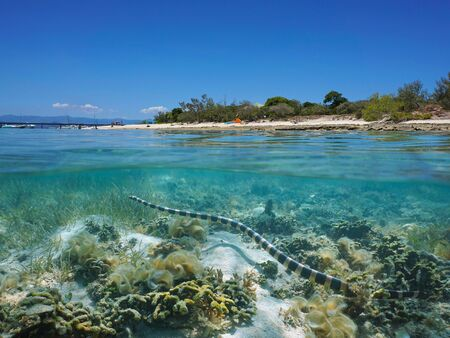 A yellow-lipped sea krait snake underwater near the shore of Signal island, split view over and under water surface, New Caledonia, south Pacific ocean, Oceania