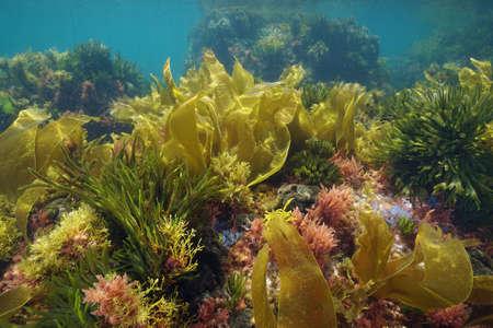 Colors of marine algae underwater in the Atlantic ocean, Galicia, Spain, Pontevedra