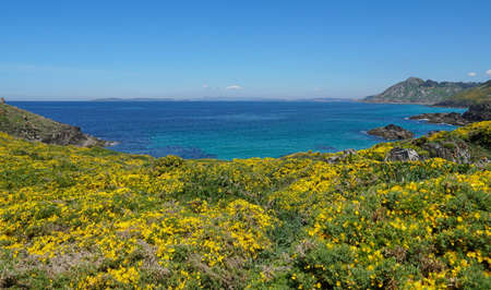 Yellow gorse in flower and blue ocean, Atlantic coast of Galicia, Spain, Pontevedra province, Cangas, Cabo Home