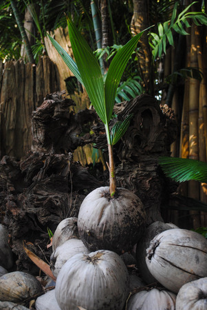 coconut seedlings: Fresh coconut seedlings at my home. Stock Photo