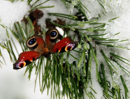 Peacock butterfly alive in January on the snow Stock Photo