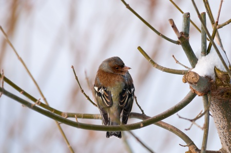 Chaffinch or chaffy - small bird with large double white wing bars, white tail edges and greenish rumpsmall, reddish underparts and a blue-grey cap Stock Photo