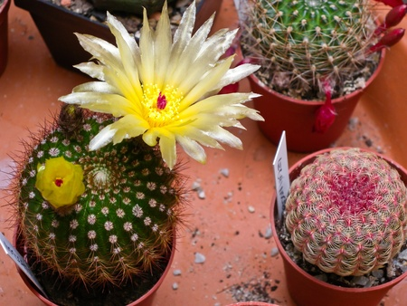 pistil: Blooming Notocactus with yellow petals and red pistil Stock Photo