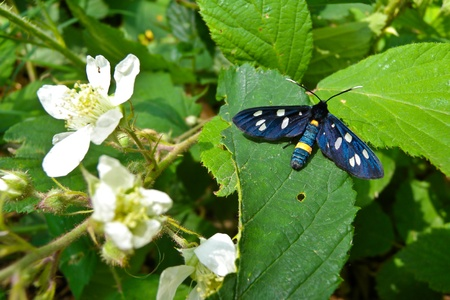 Blue butterfly with white spots on the wings and yellow bands on the body