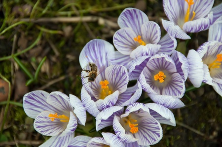 Group of crocuses with a bee  in spring