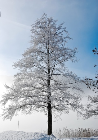 Tree with frosty branches in winter