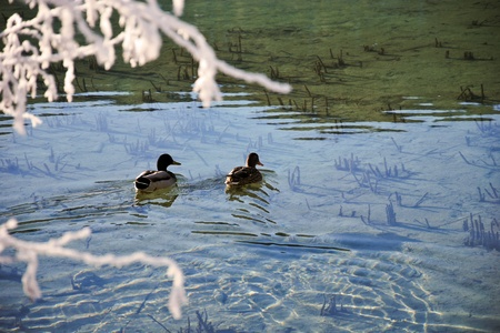 Ducks swimming in the transparent water of the mountain lake Stock Photo
