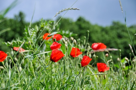 Wild red poppy blossoms in the green grass