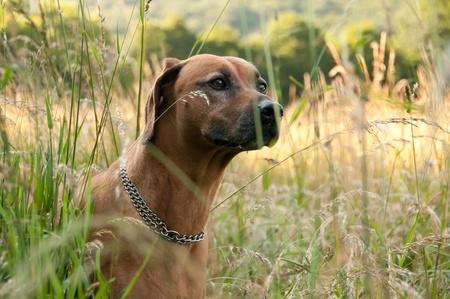 Hunting Rhodesian Ridgeback in the grass field