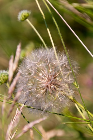 Dandelions closeup in a sunny day Stock Photo - 12837217