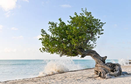 aruba: Divi Divi tree on the beach of Aruba with ship on the horizon and waves Stock Photo
