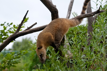 Coati close up on the tree looking for food