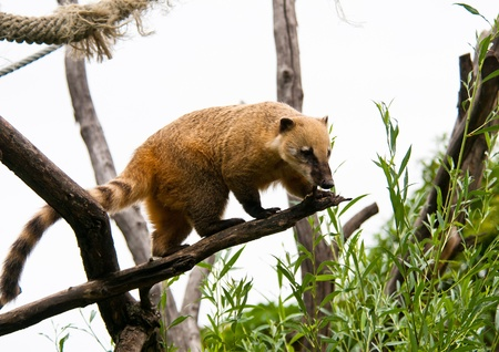 Coati on the tree branch prepearing to jump down