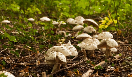 Many parasol mushrooms growing in group in the forest Stock Photo