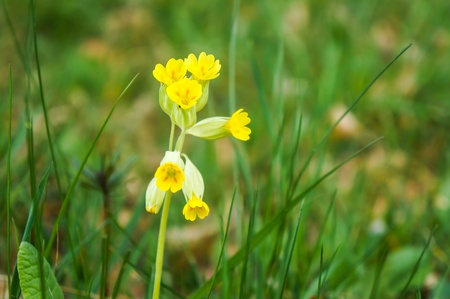 Close up of the yelow spring flowers in green grass in the field