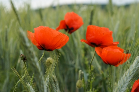 Wild red poppy flowers in a wheat field Stock Photo
