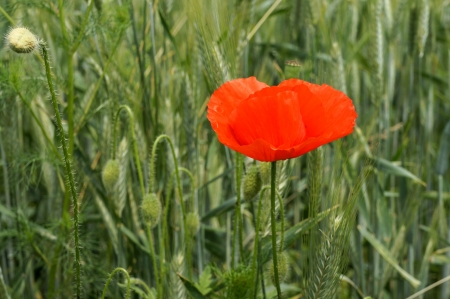 Wild red poppy in a wheat field Stock Photo