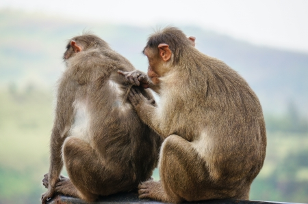 Monkey cleaning fur on the back of another monkey Stock Photo