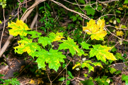 Green and yellow maple leafs in the forest