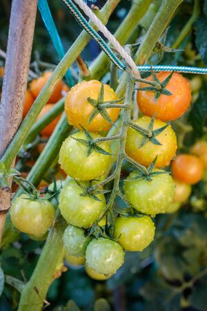 Green tomatoes growing as a part of a sustainable agriculture