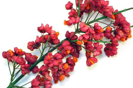 showy: Branch of bush Euonymus Europaea. Bright red seed boxes and orange seeds decorate branches in the autumn.
