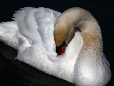 allocated: Lonely swan. The pure snow-white plumage is allocated against black water. The swan has gracefully bent a neck.