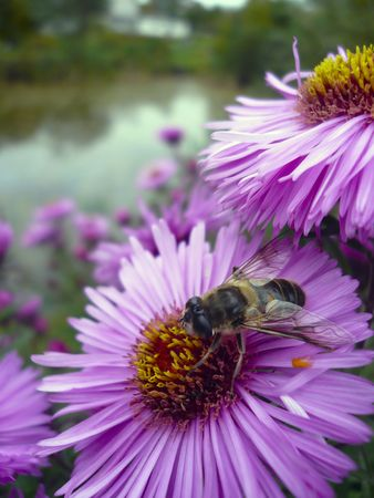 Early autumn. Fine violet chrysanthemums blossom. On a flower the fly has settled down to regale on nectar. photo