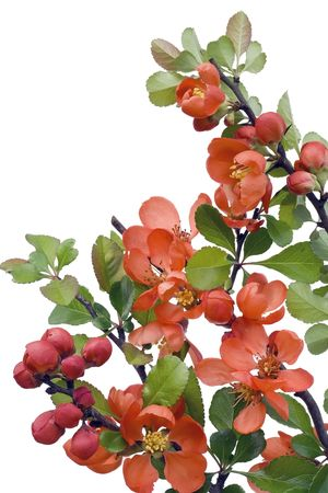 Blossoming in May Japanese quince (Chaenomeles) postcard background. Isolated on white. Selective focus. photo