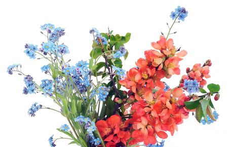 Japanese quince (Chaenomeles) and Forget-me-nots (Myosotis)  postcard . Isolated on white.  photo