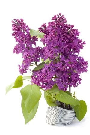 The branch of a purple lilac grows from a steel wire. A victory live over lifeless the concept. Isolated on white. photo