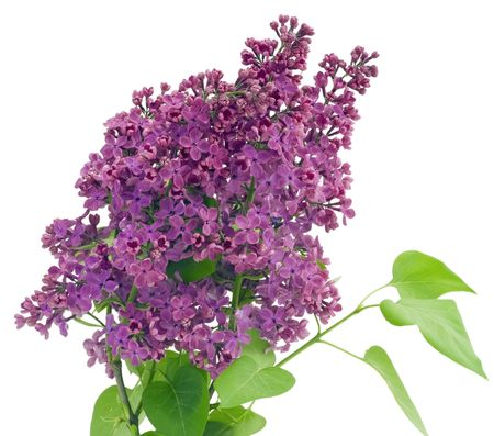 The branch of a purple lilac background postcard. Isolated on white. photo