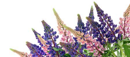 lupin: Isolato su sfondo bianco bluebonne blu e rosa.