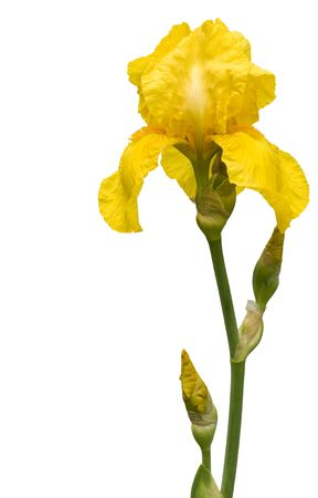 Banner  with isolated  on white  rare yellow  iris. photo