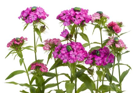Flowers pink carnations and it is a lot of bugs Cetonia aurata (Guldbagge). Isolated on white. Stock Photo - 7703034