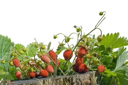 glades: The wood wild strawberry ripens on solar glades. Isolated on white.