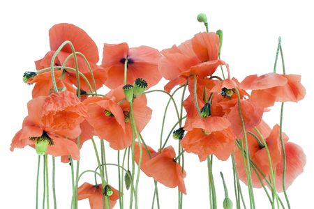 Isolated on white lonely withering red poppies background.  photo