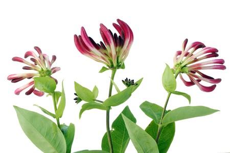 Isolated on white decorative Honeysuckle  flowers background